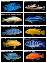 Cichlids (In Store Only)
