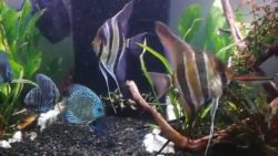 Discus & Angelfish (In Store Only)