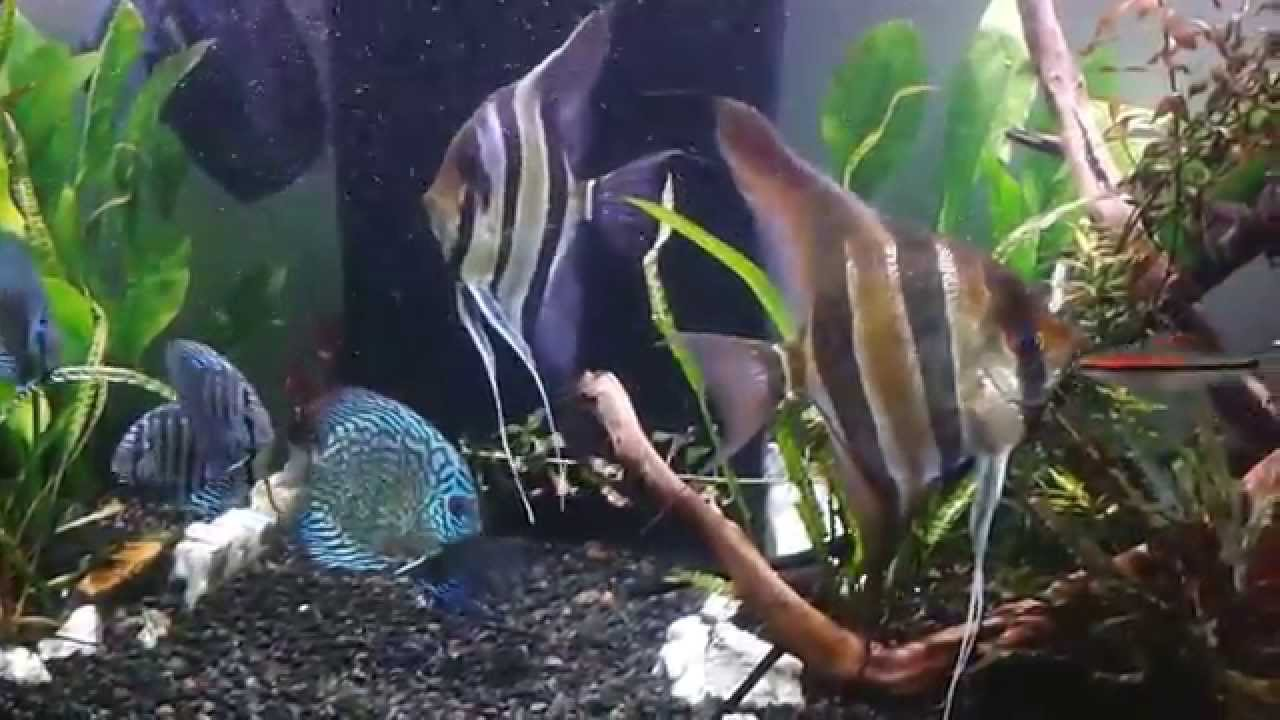 Discus & Angelfish
