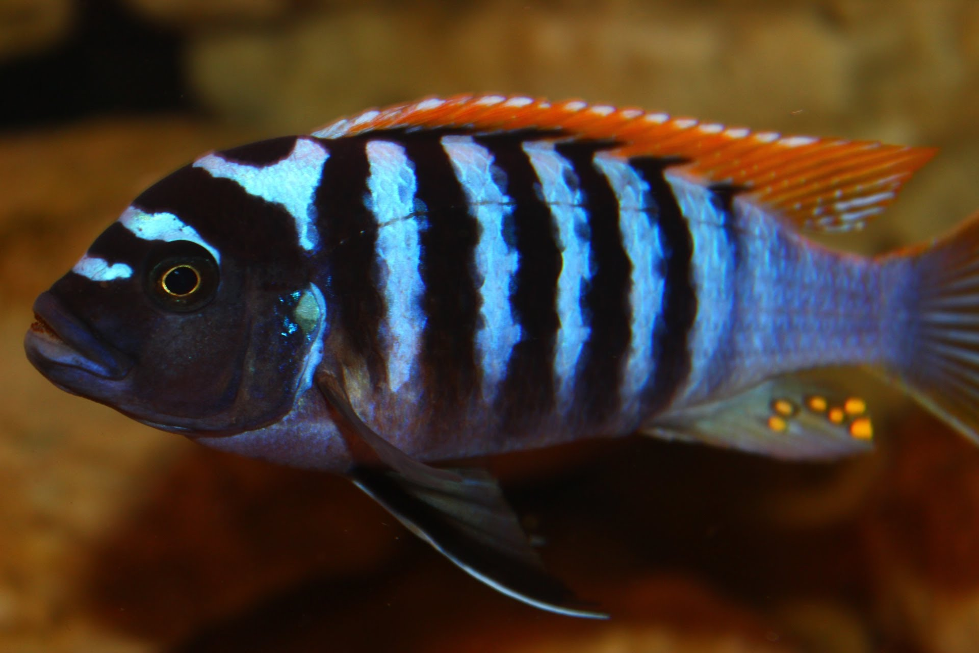 Zebra Red Top Black Bar Cichlid The Aquarium Factory