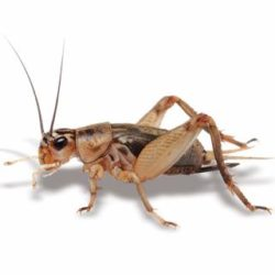 Crickets, Woodies & Mealworms